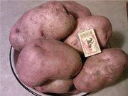 посадочный картофель сорт Славянка