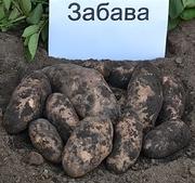семенной картофель сорт Забава