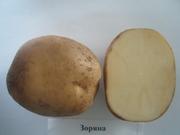 семенной картофель сорт Зоряна