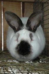 Продаю чистопородный племенной молодняк кроликов