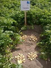 семенной картофель для профессионалов - только качественный