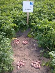 картофель семенной Германия,  Нидерланды