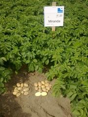 семенной картофель для профессионалов - Элита и первая репродукция