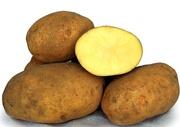 семенной картофель сорт Сувенир черниговский