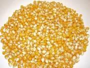 Продам Кукурузу в зачёте