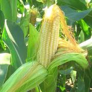 Продам кукурузу  1000тонн по 1150грн