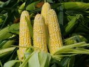 Продам кукурузу (зерновая 27)