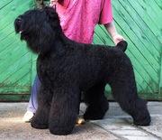 продам щенков чёрного терьера