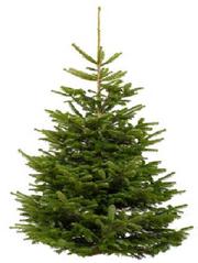 Різдвяні, новорічні ялинки,  сосна оптом