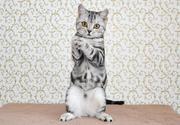 Шотландские котята. Чернигов.