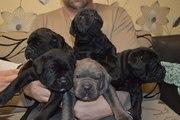 Продам щенков Кане Корсо.