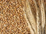 Куплю зерновые,  масличные